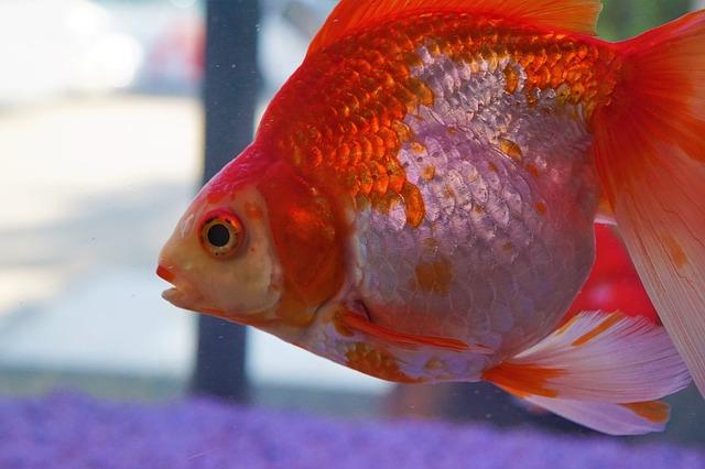 Goldfisch Rot Weiß