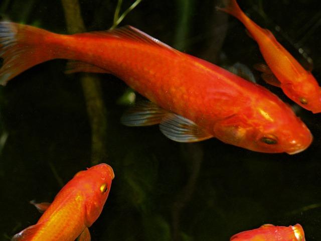 Großer Goldfisch