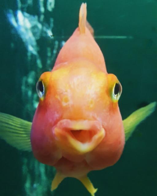 Kleiner Goldfisch