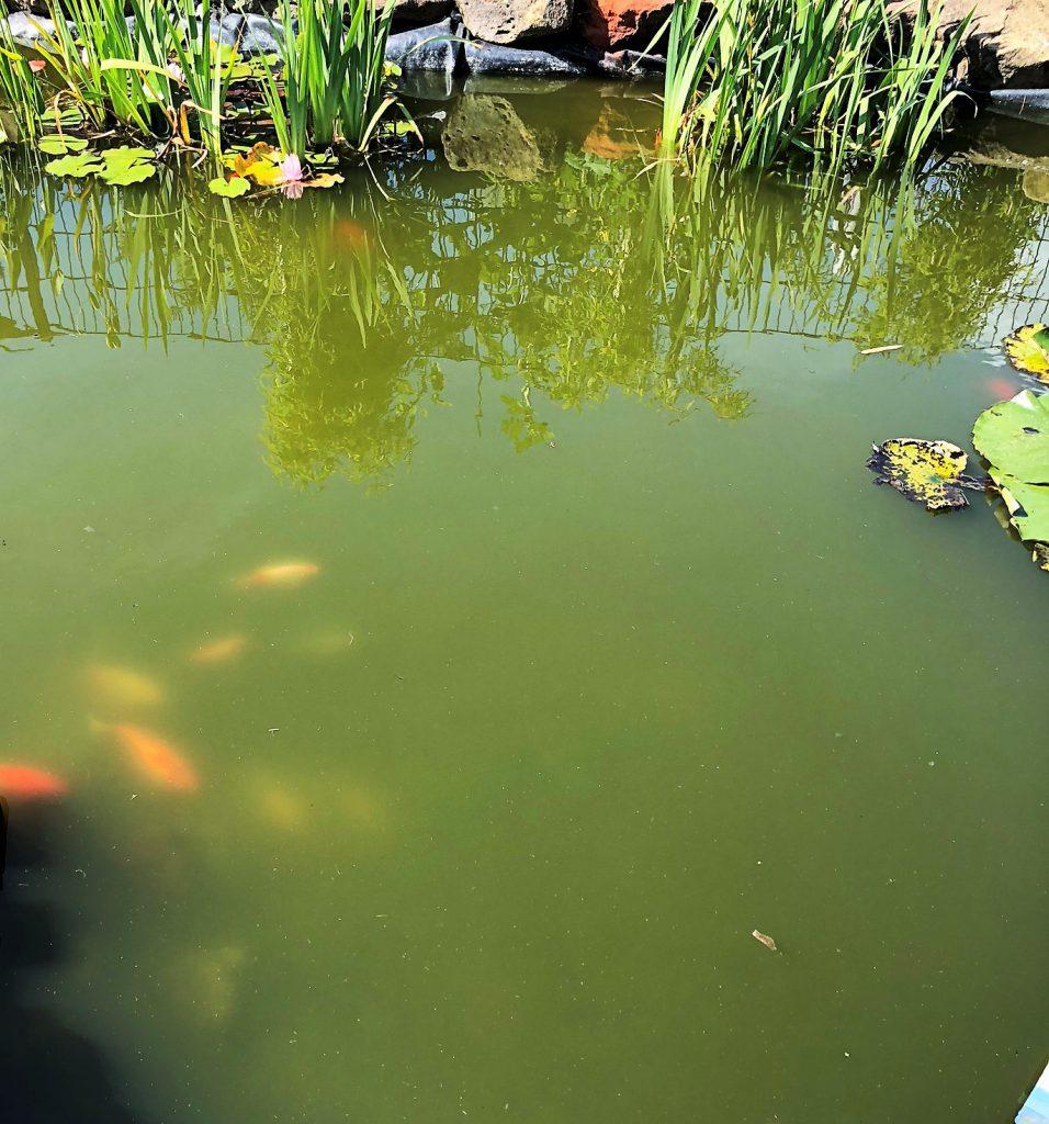 Teichwasser ist grün durch Schwebealgen